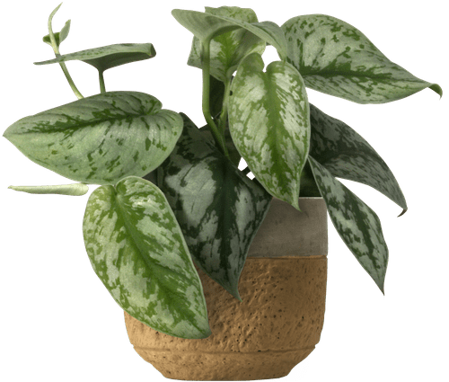 Small Satin Pothos (Scindapsus pictus 'Trebie' ) - from £8