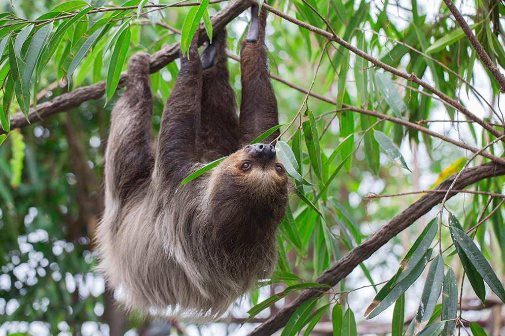 A Sloth hanging upside down on the tree