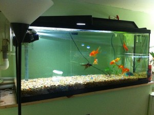 Freshwater Aquariums - 3 Golden Rules In Keeping A Freshwater Aquarium