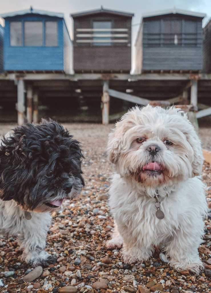 Pepe and Fuji on the beach in Essex