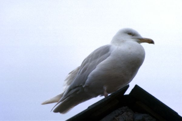 An Iceland Gull on a rooftop