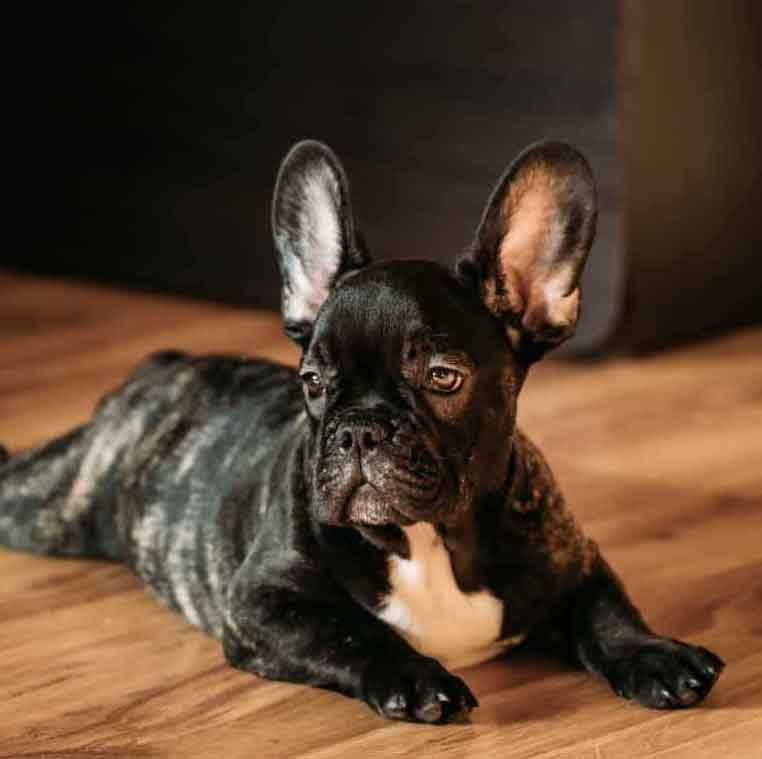 Image of a brindle french bulldog puppy laying on the floor