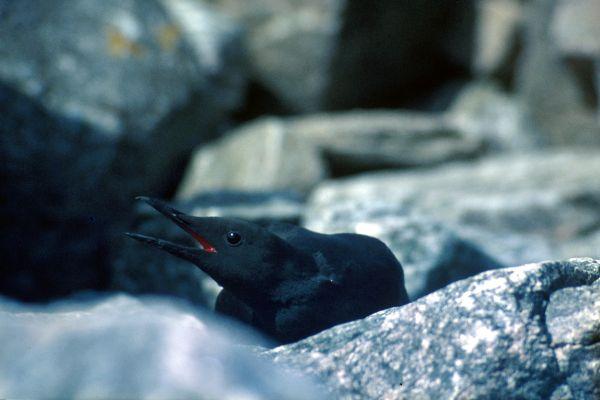 A Black Guillemot among the rocks