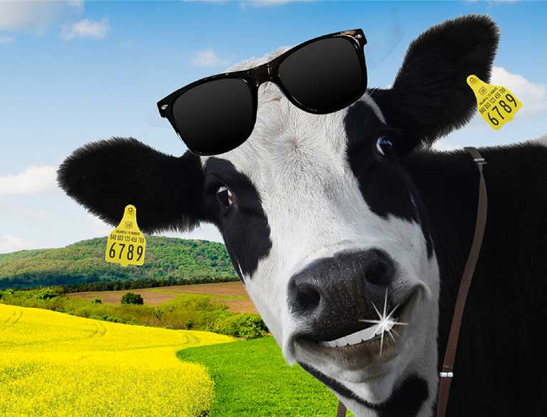 smiling cow wearing sunglasses