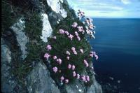 Thrift growing on the side of a cliff.