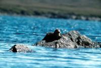 An Otter at Basta Voe.