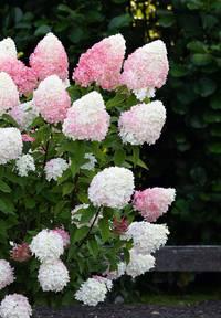 Hydrangea paniculata Living Pink & Rose®