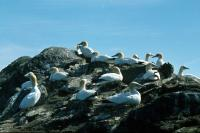 A group of Gannets on the Cliffside