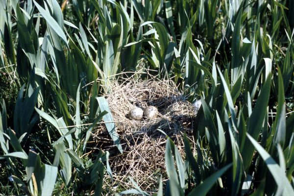Two Black Headed Gull eggs in the nest