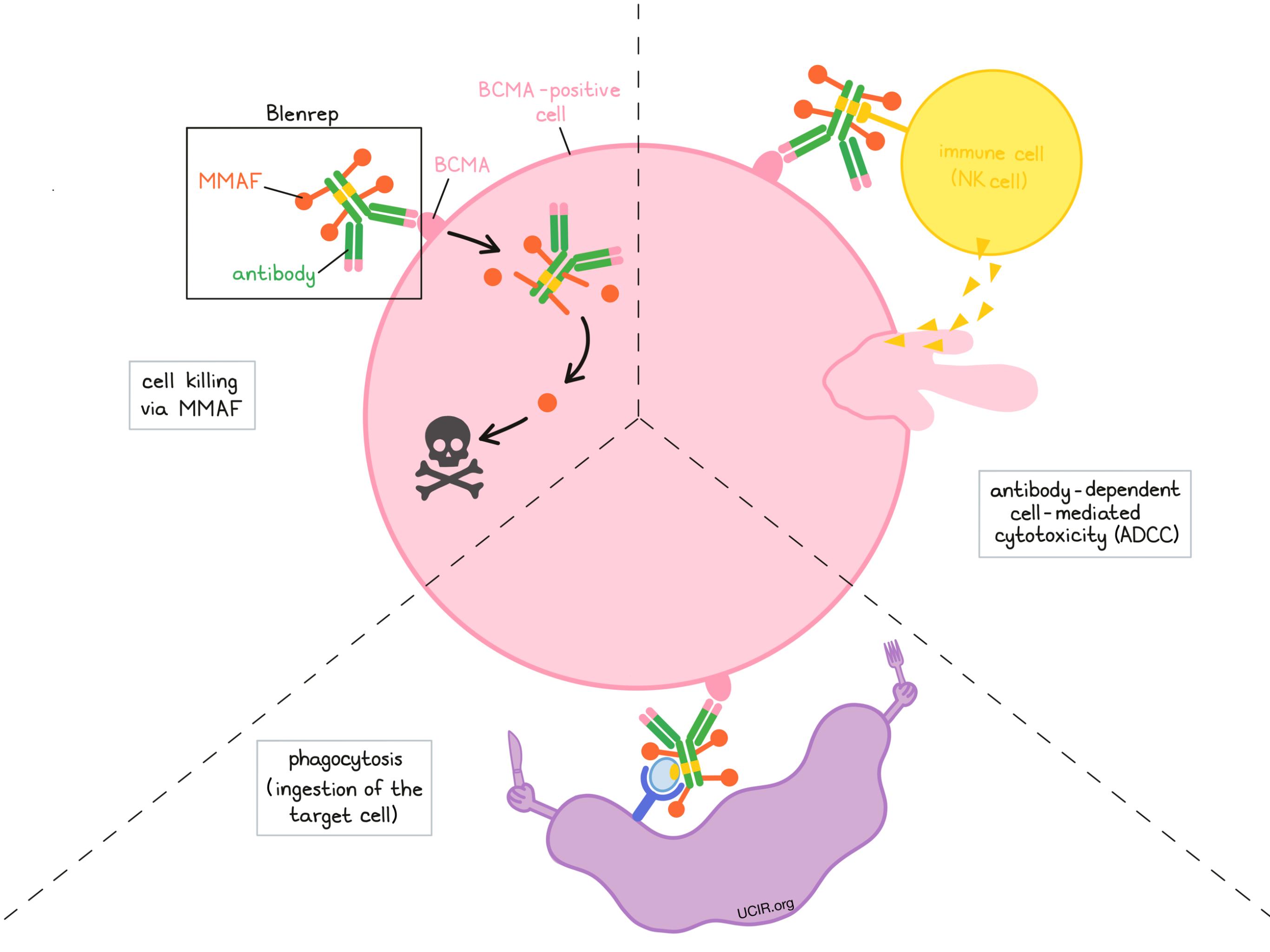 Illustration showing how Blenrep works