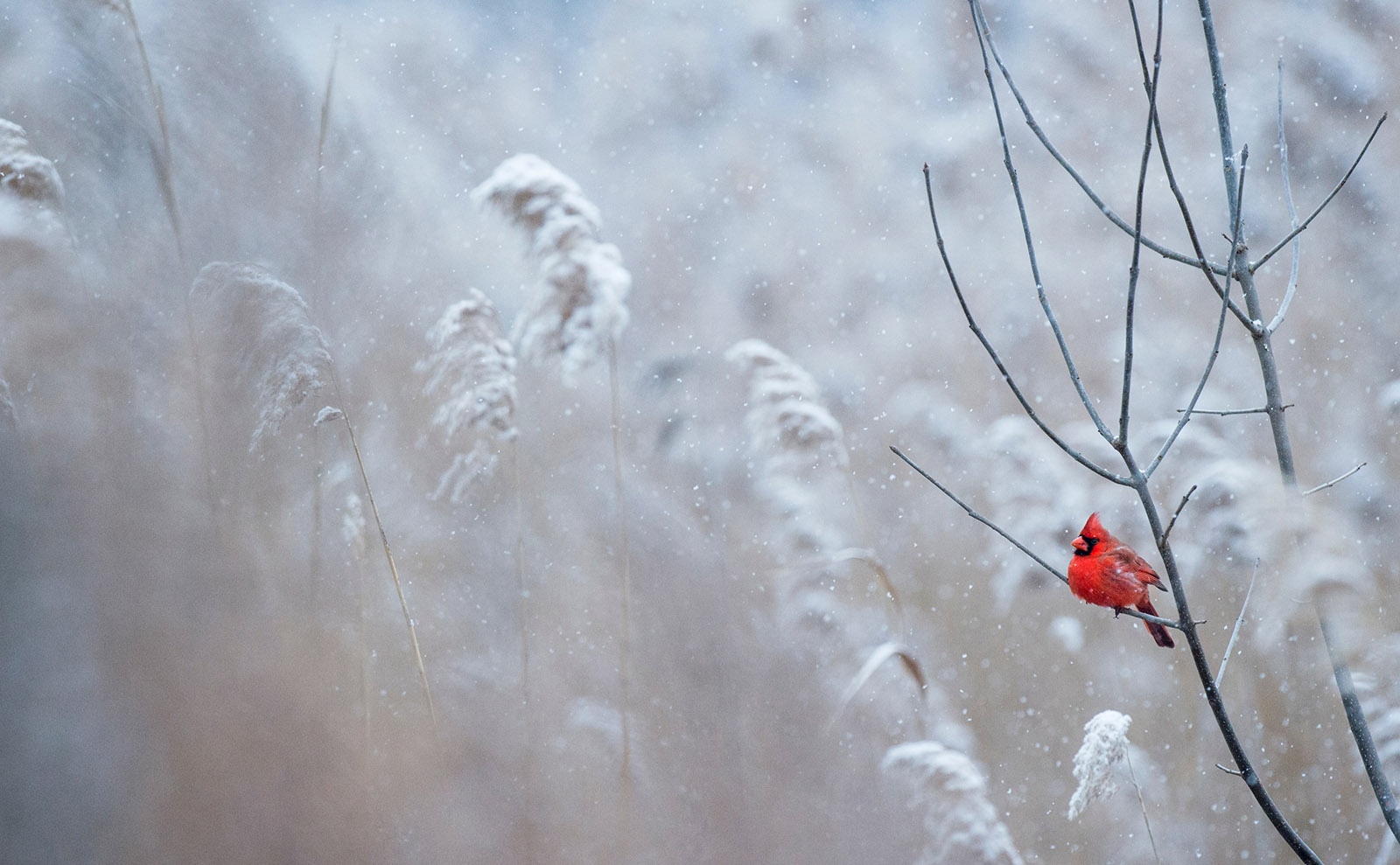 a red cardinal sitting on a snowy tree branch