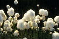 A field of Cottongrass