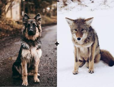 Can Coyotes Breed With Dogs?