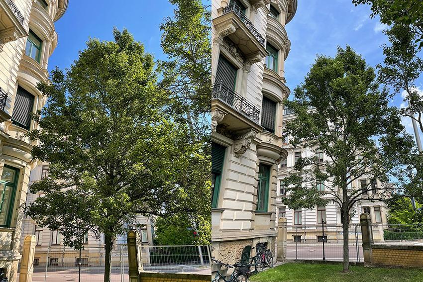Baumpflege eines Birnbaumes in Leipzig