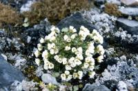 Arctic Whitlow-grass