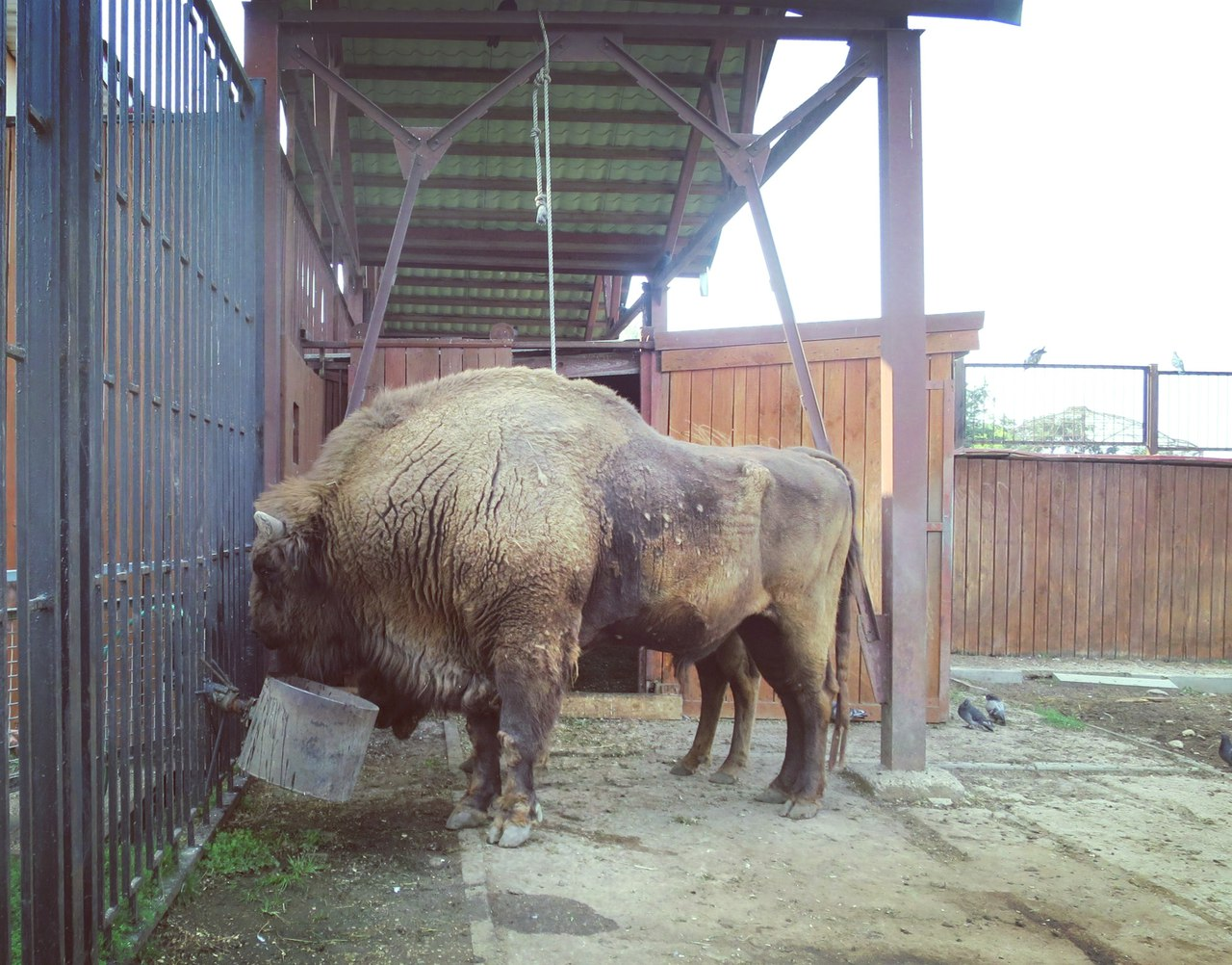 A male bison at the Minsk Zoo. Autumn 2016 Photo by A.Basak