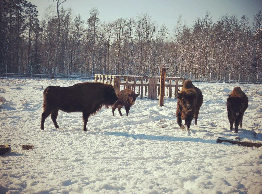 Зубры в Беловежской пуще. Зима 2016 г. Фото А.Басак