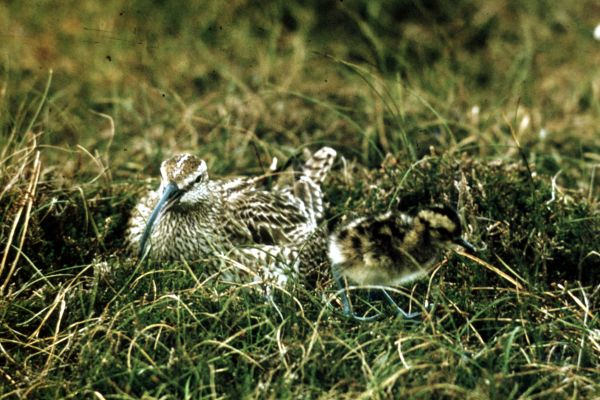 A Whimbrel and chick
