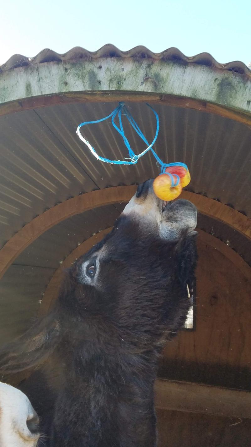 Donkeys bobbing for apples