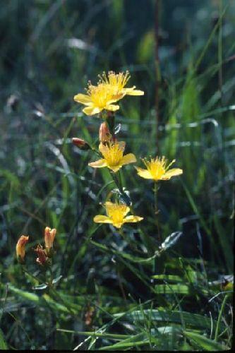 St. John's-wort growing among the grass