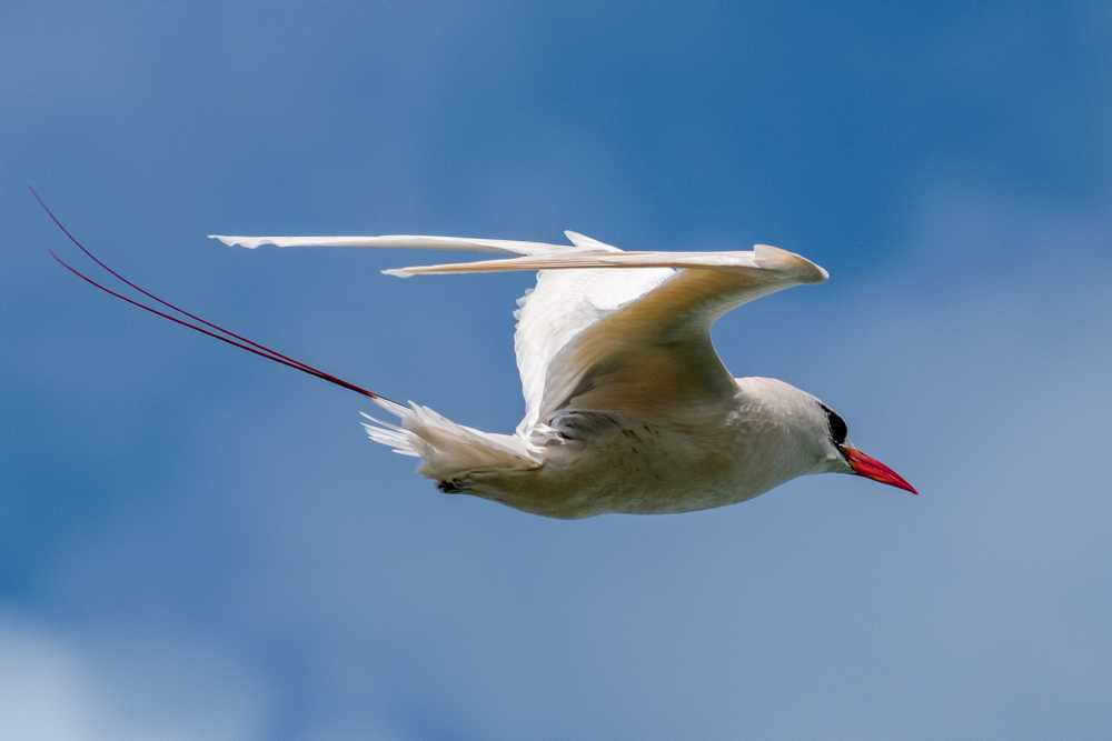 Red Tailed Tropicbird