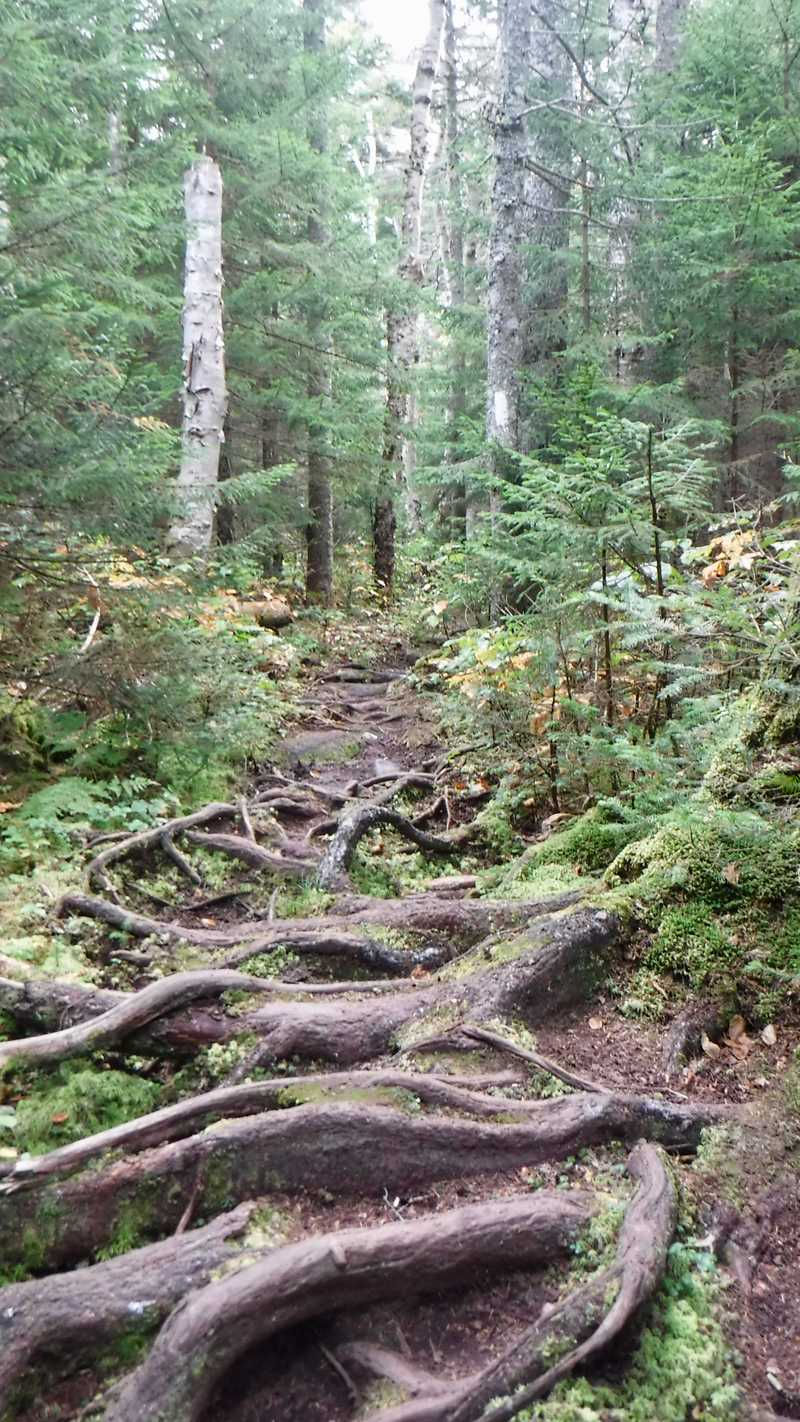 Tangle of roots on the trail