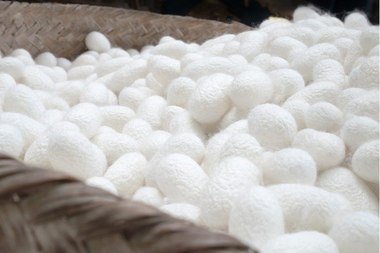 Cocons de bombyx
