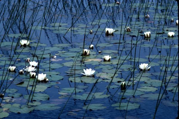 White water-lilies among the reeds