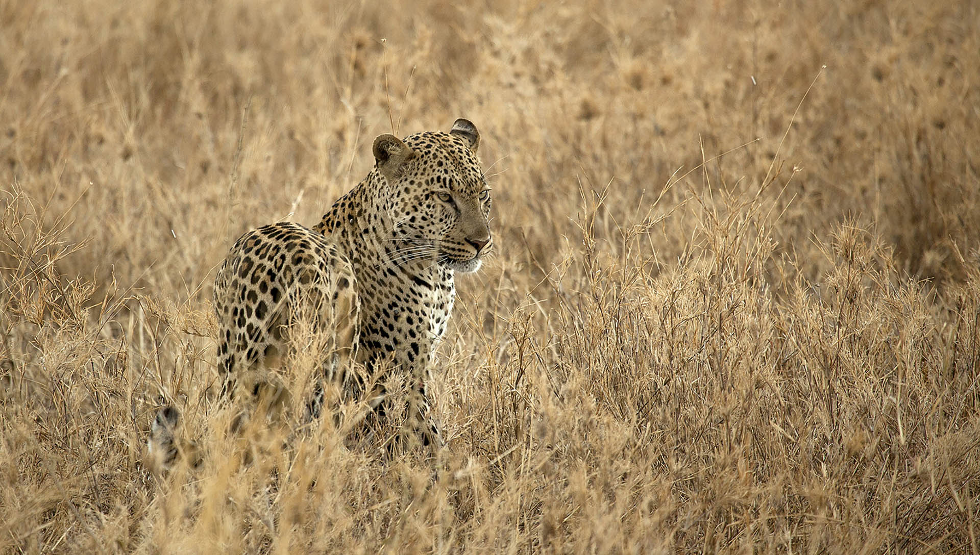 portada leopardo.jpg