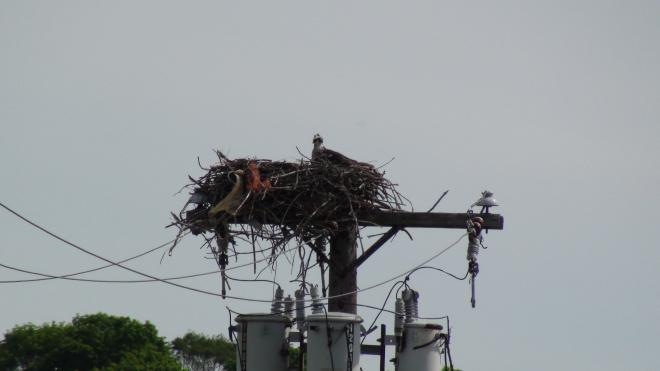 Osprey mama in nest.
