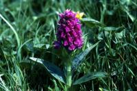 Northern Marsh Orchid flower in close-up