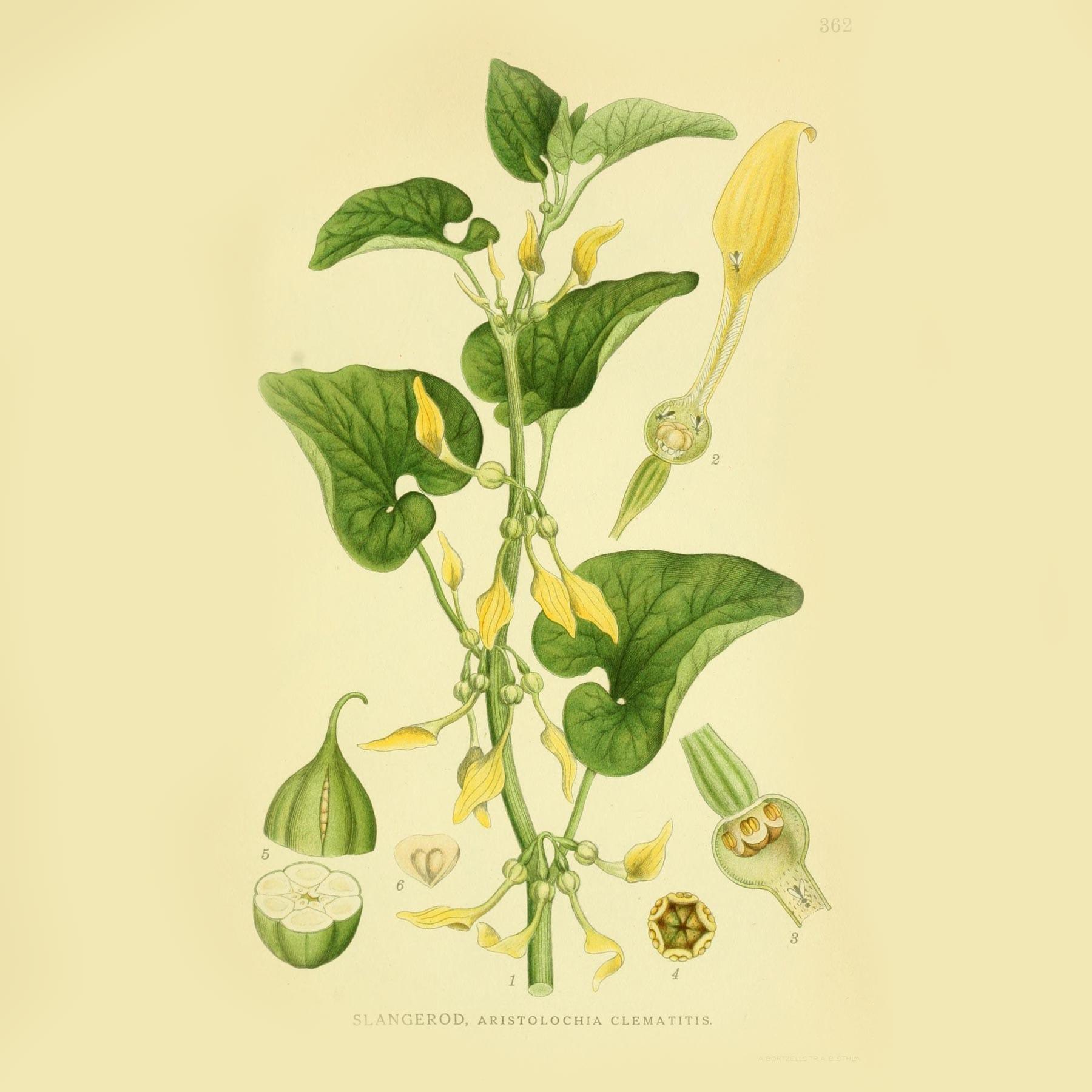 Кирказон ломоносовидный (Aristolochia clematitis). Источник: plantgenera.org