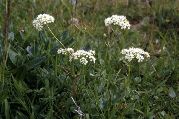 Pignut flowers growing in a field