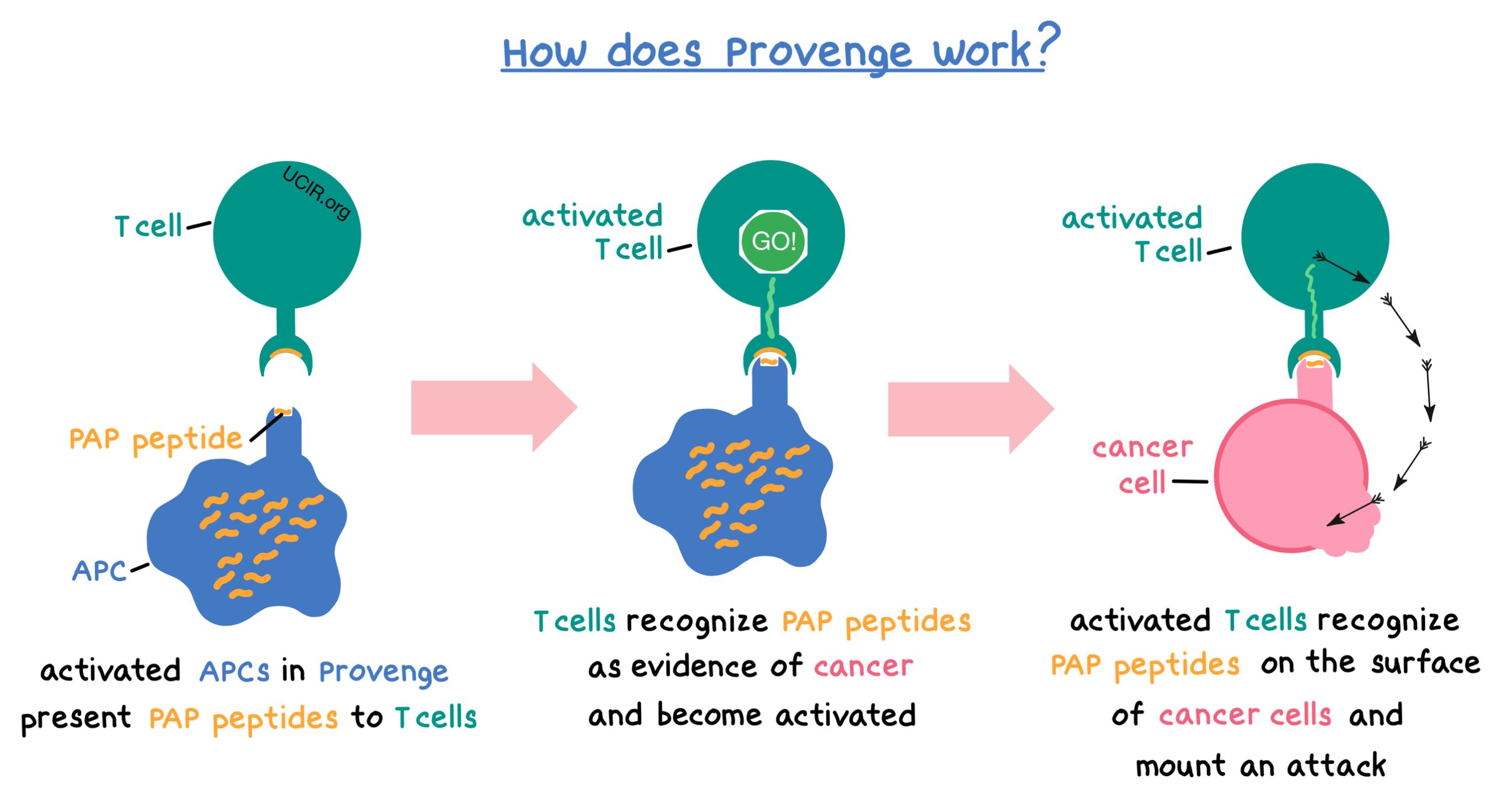 Illustration showing how Provenge works