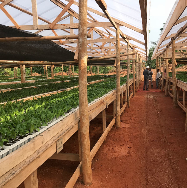Sustainable oil palm seedling preparation on rows of tables.