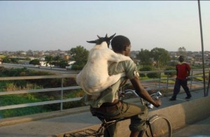 Man riding a bicycle with a goat on his back.