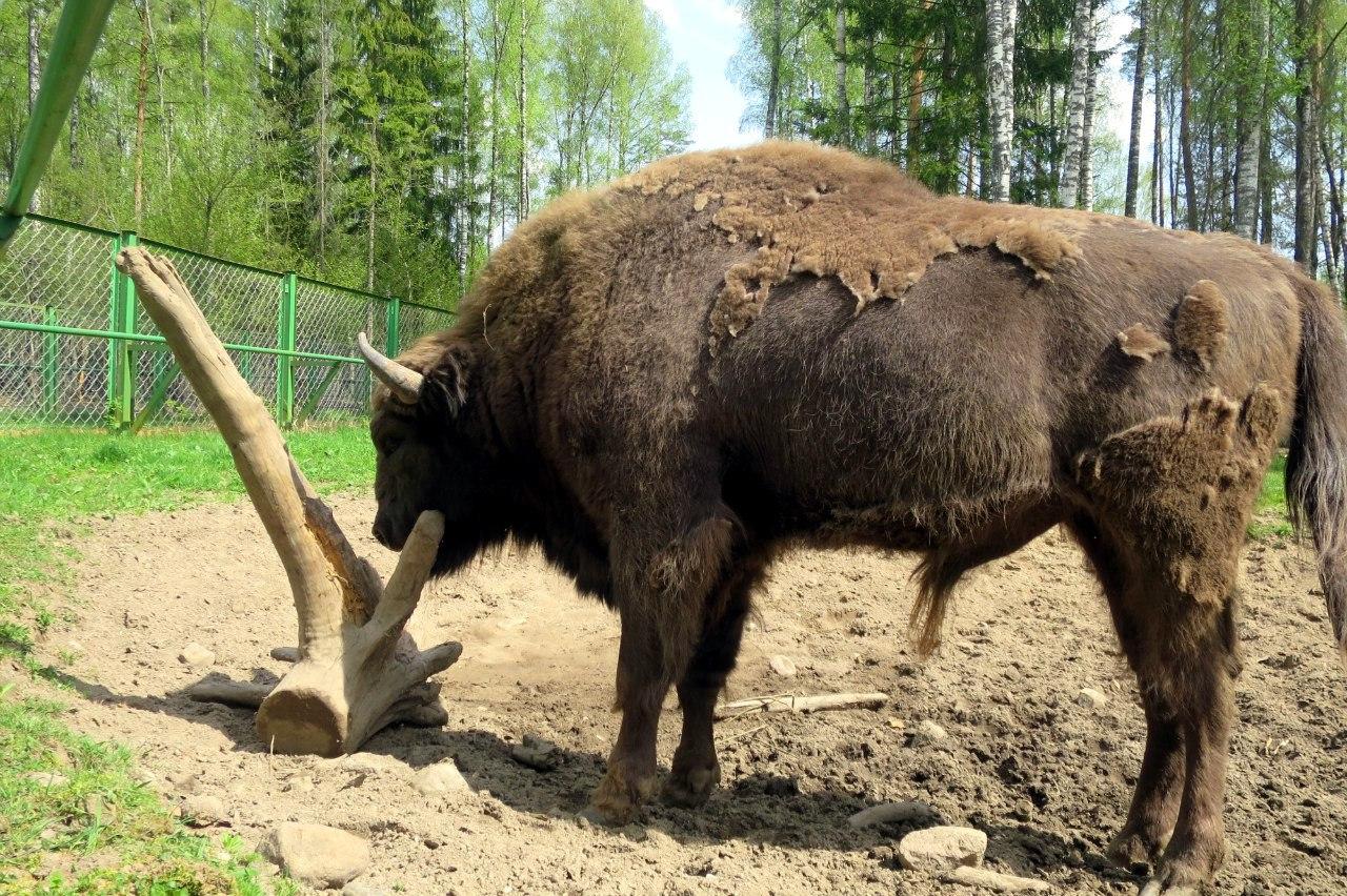 Зубр в лесном зоопарке Березинского биосферного заповедника. Весна 2016 г. Фото А.Басак