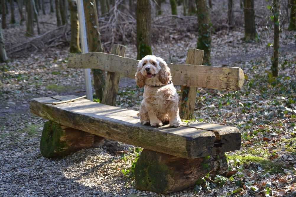 An American Cocker Spaniel, like Lady. Credit to Elf @ wikimedia.org. Licensed under CC BY-SA 3.0