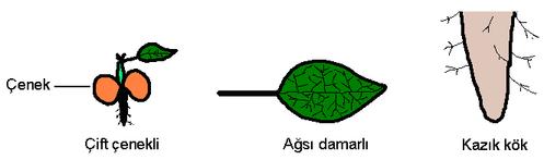 çift çenekli bitkiler