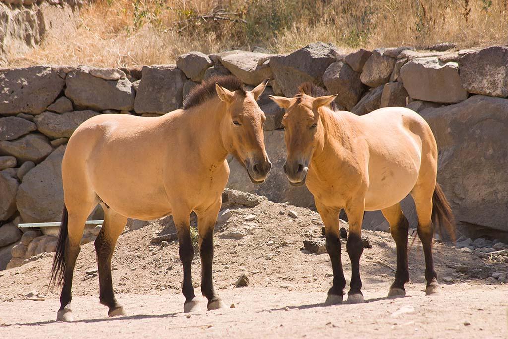 Przhevalsky horses -- named after the Russian geographer and explorer Nikolai Przhevalsky.