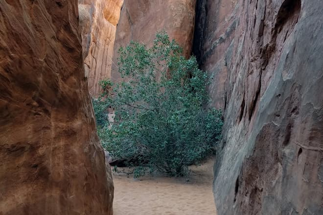 A small tree grows in the sand in the narrow space between two high sandstone fins.