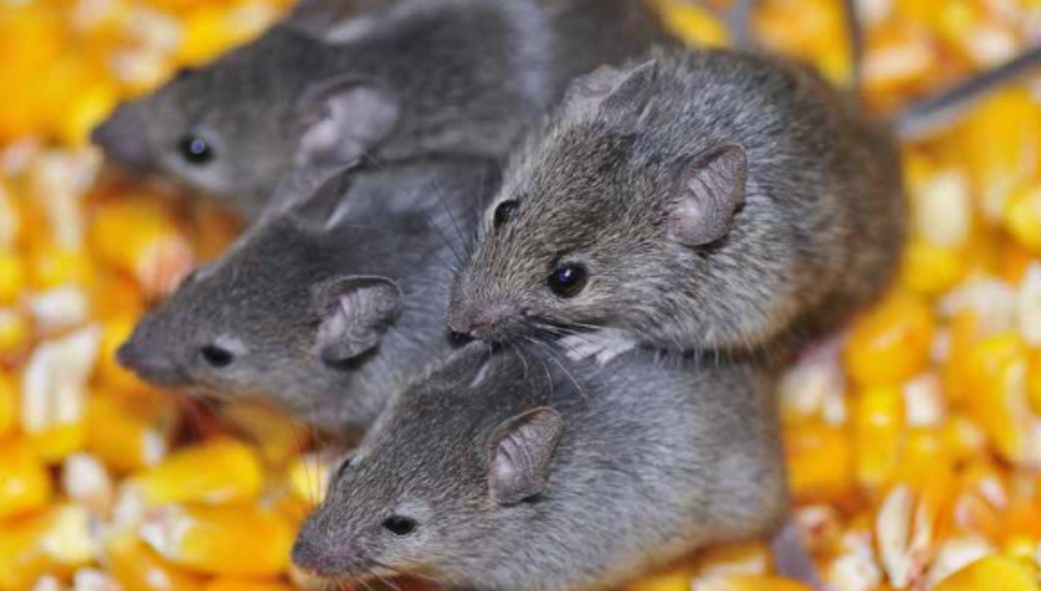 Ratos desratização