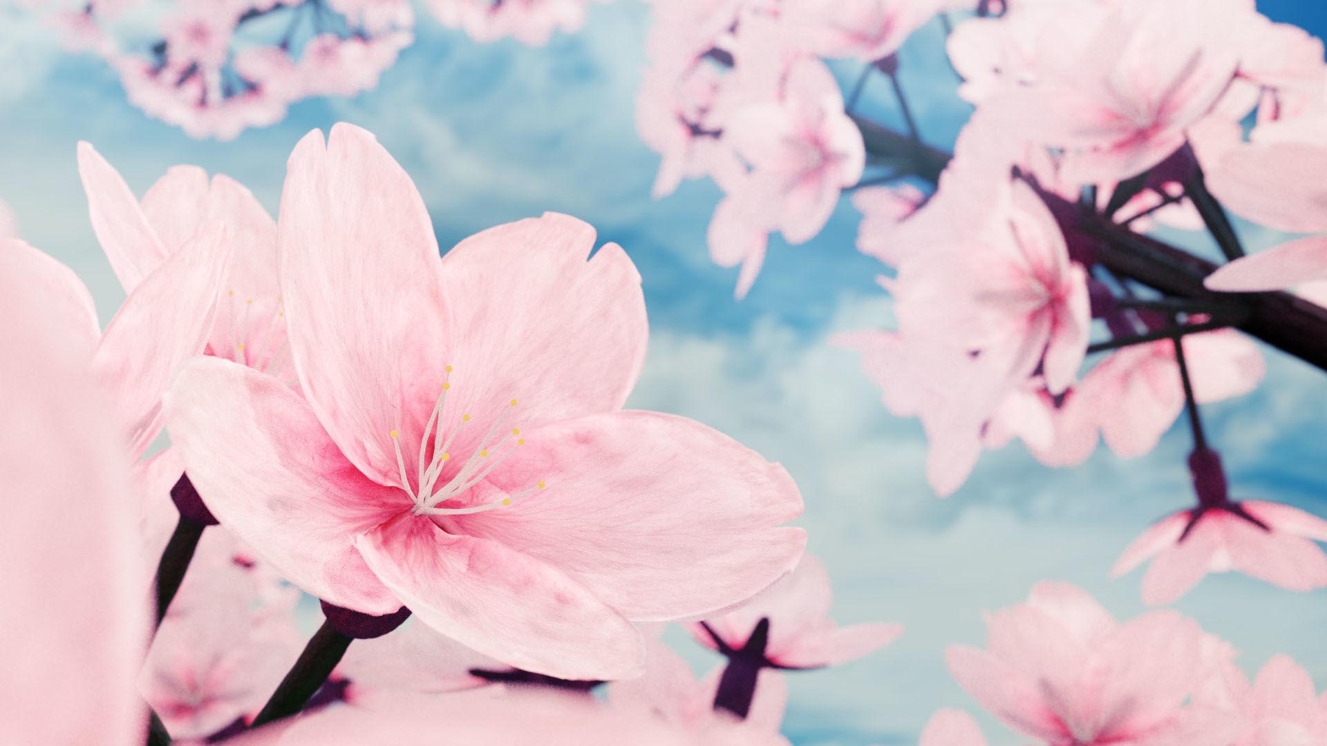 Cherry Blossom Rendering