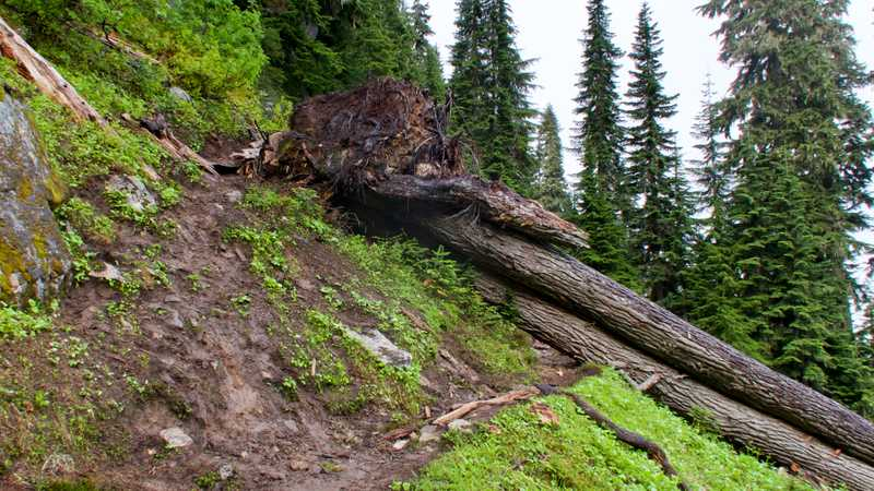Two trees are lying across the trail