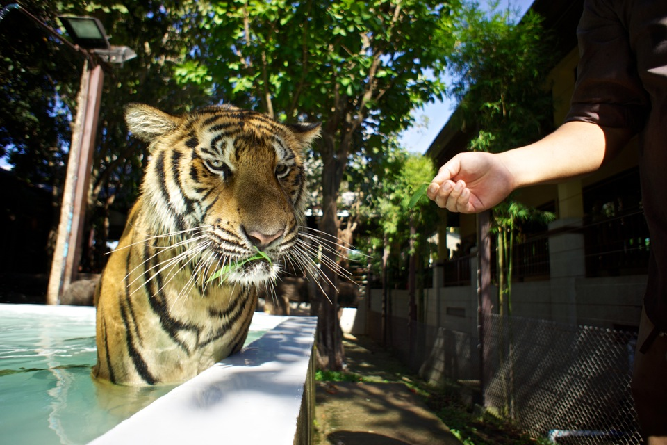 Tiger chewing