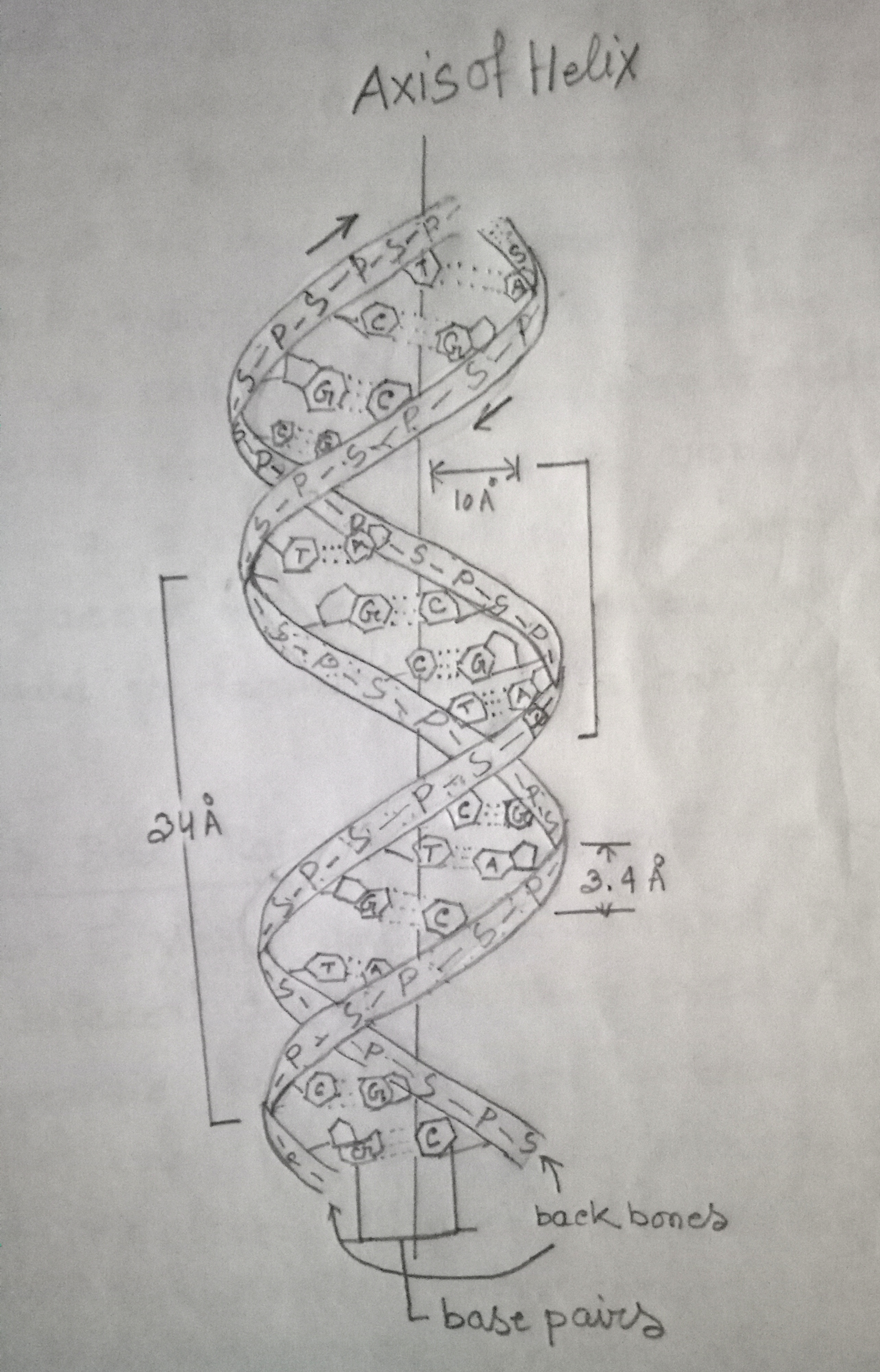 Diagrammatic representation of DNA double helix
