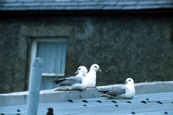 Three Fulmars on a roof