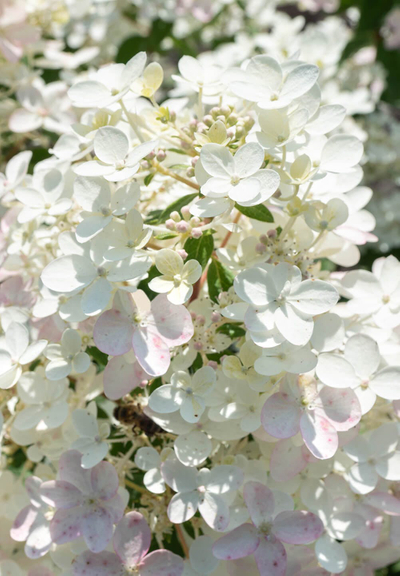 Hydrangea paniculata Living Touch of Pink®