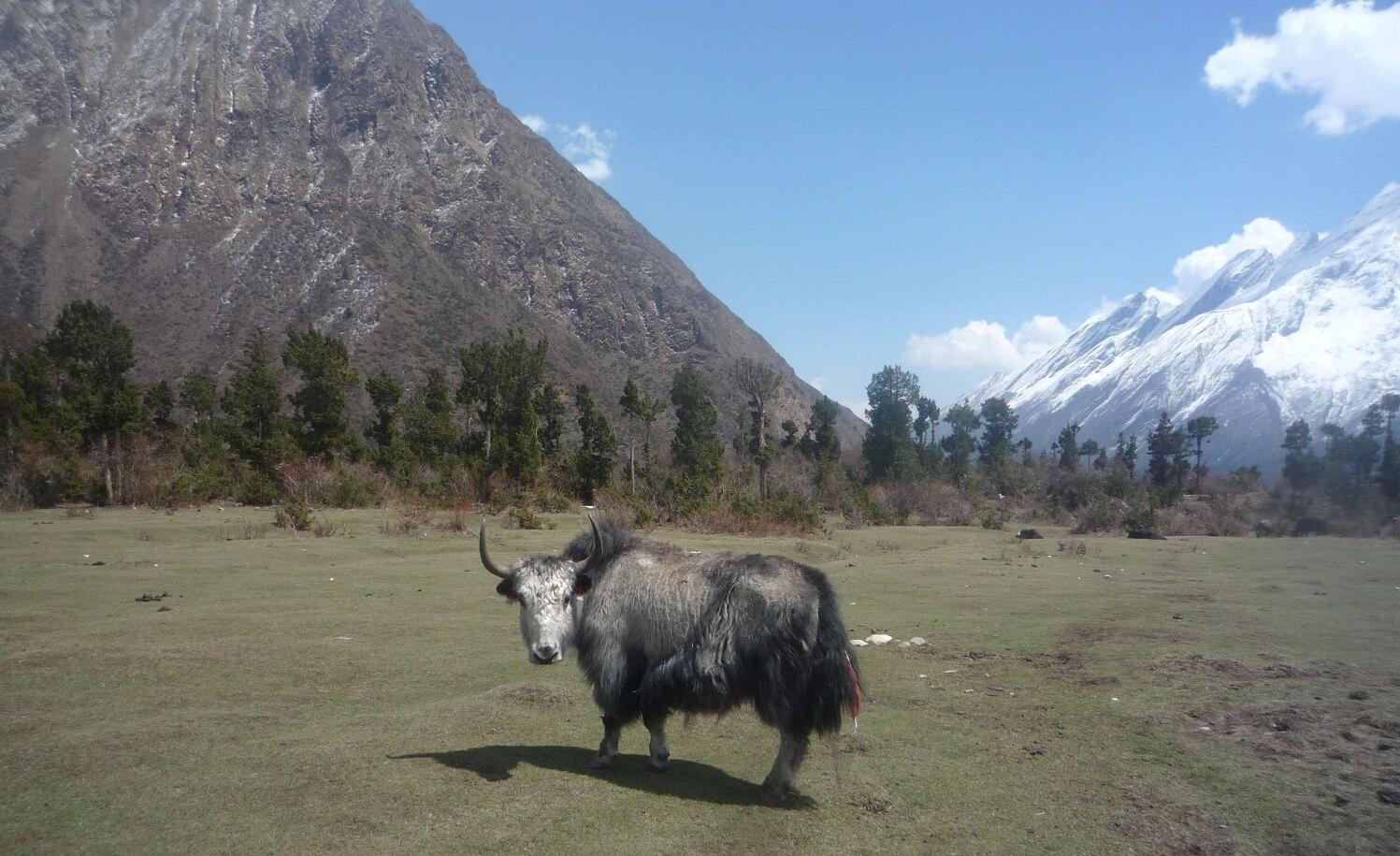 Domestic Yaks on the Way to Manaslu Base Camp