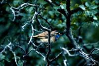 A Bluethroat in profile
